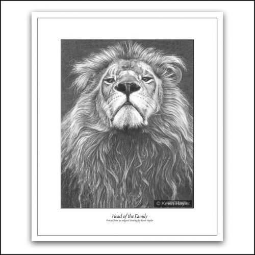 proud lion portrait pencil drawing