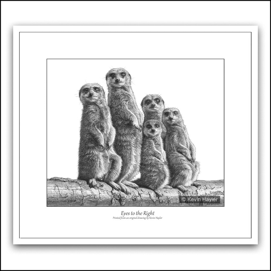 Five meerkats standing in a group pencil drawing