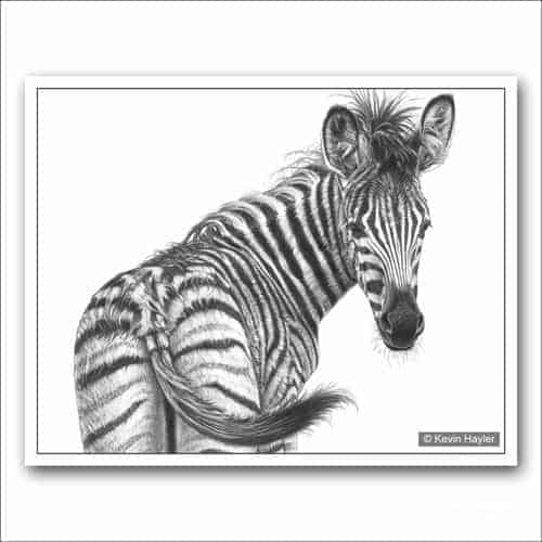 young zebra foal looking back pencil drawing