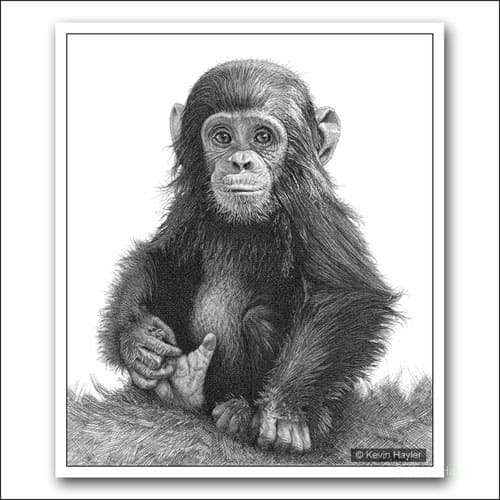 Baby chimp sitting full portrait