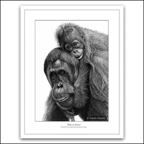 Baby orangutan riding on mums back pencil drawing