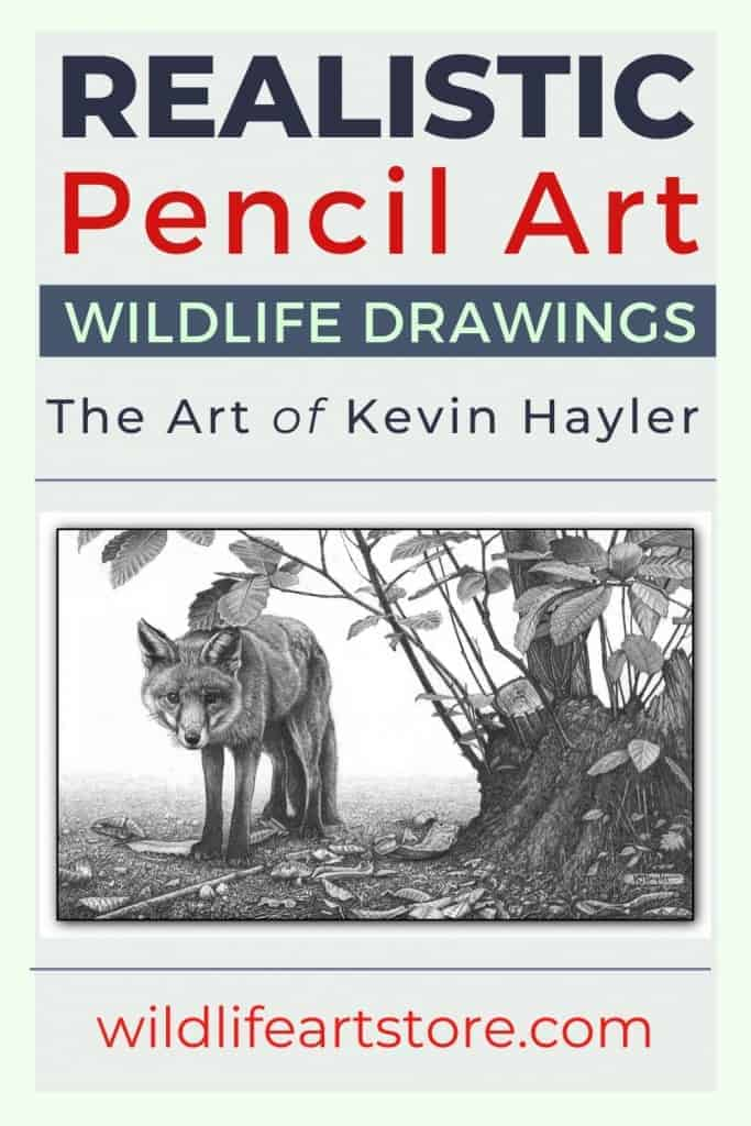 Red fox fine art pencil drawing by Kevin Hayler