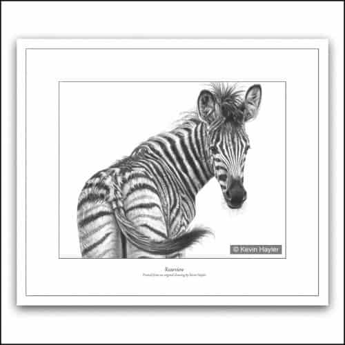 Zebra foal looking back pencil drawing