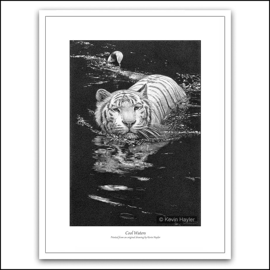 White tiger swimming with reflections pencil drawing