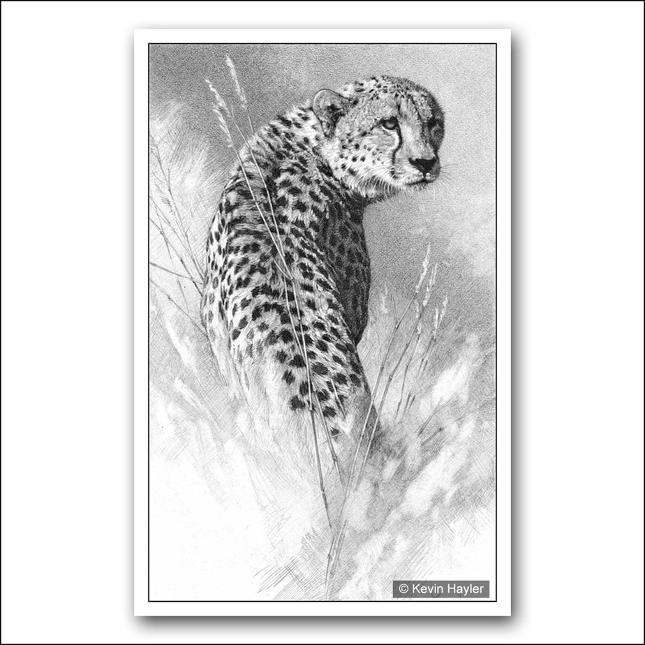 Cheetah scanning the horizon pencil drawing