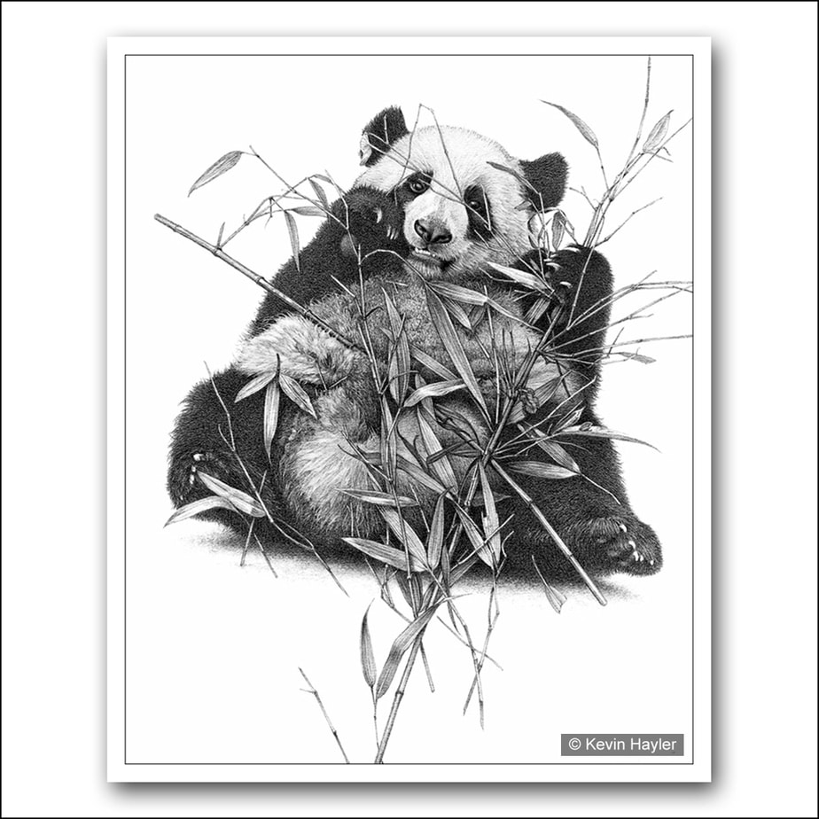 Giant panda bear feeding on bamboo pencil drawing