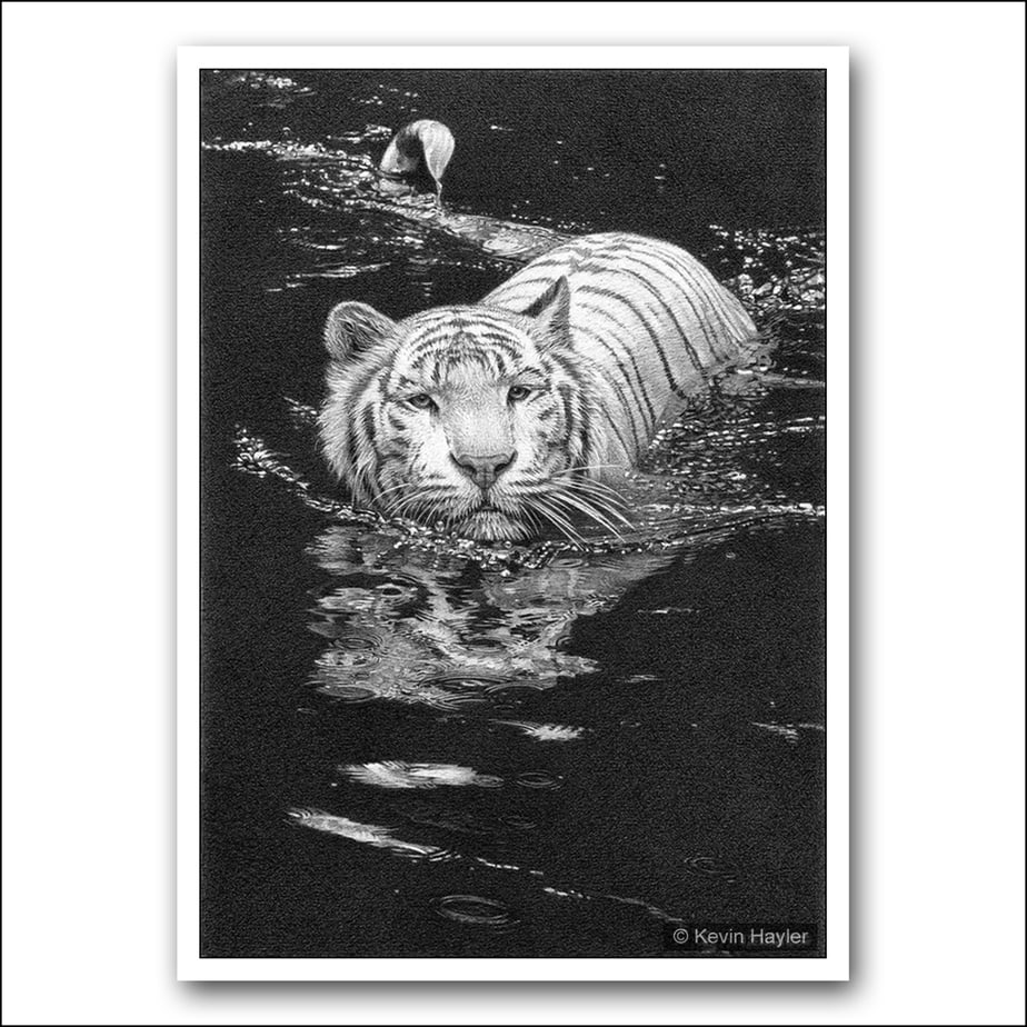 White tiger swimming face on with reflections pencil drawing