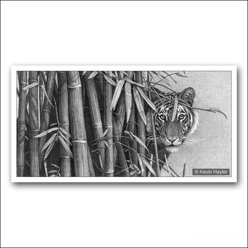 wild tiger peering around bamboo limited edition pencil drawing
