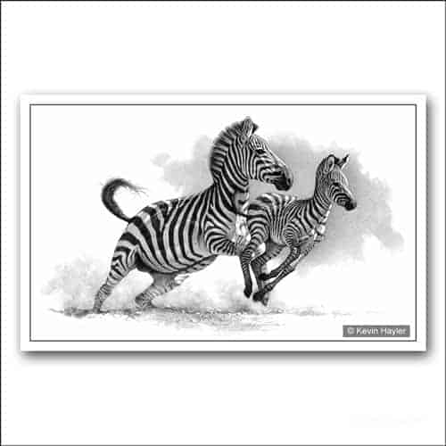 Zebra and foal running limited edition pencil drawing