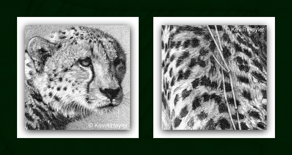 cheetah drawing details in close-up