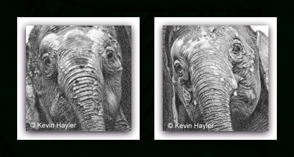 Detailed close-up of pygmy elephants pencil drawing