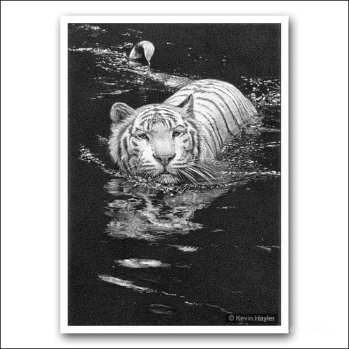 white tiger swimming limited edition pencil drawing