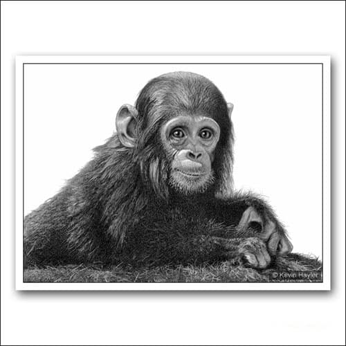 baby chimp portrait in pencil limited edition drawing
