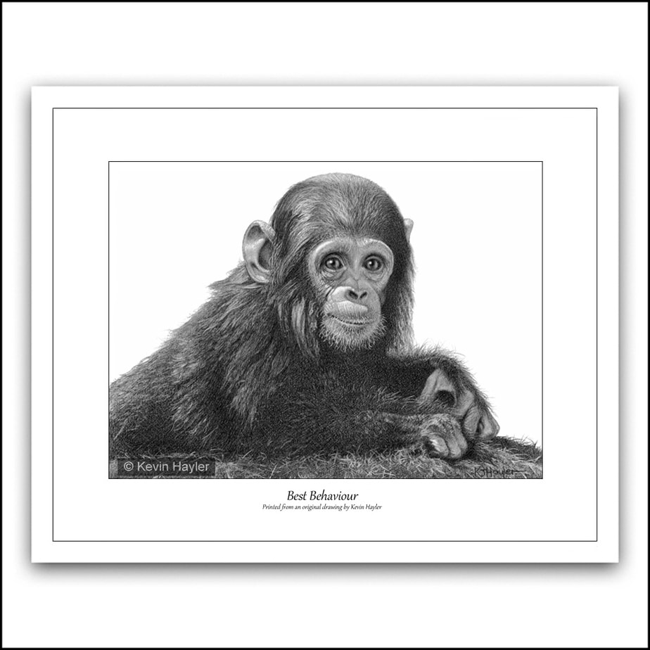 Limited edition Baby chimp pencil drawing