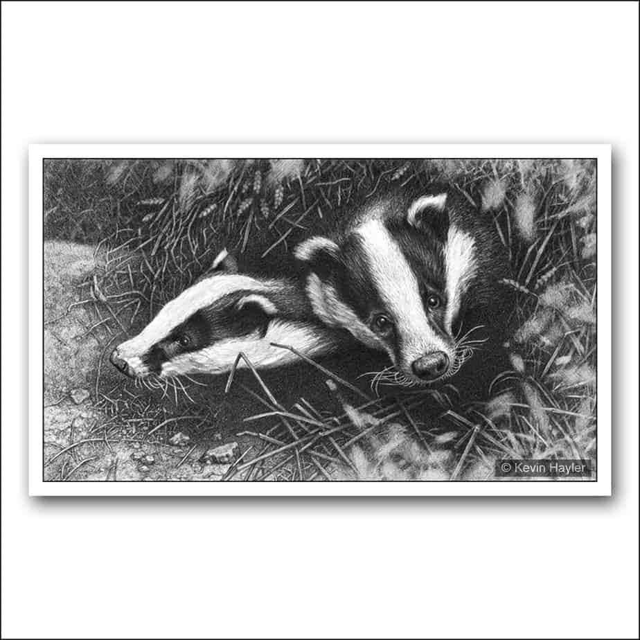 Two badgers emerging from a sett pencil drawing