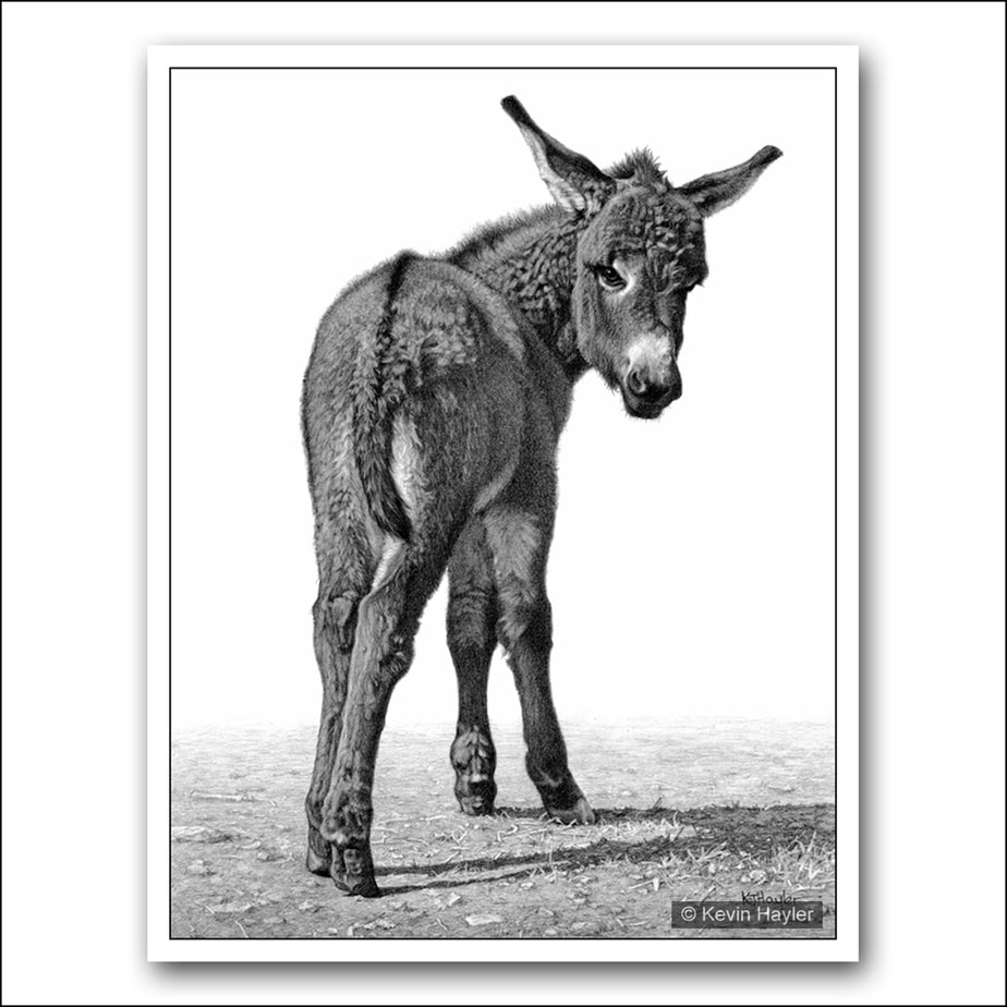 donkey foal turning to look back pencil drawing