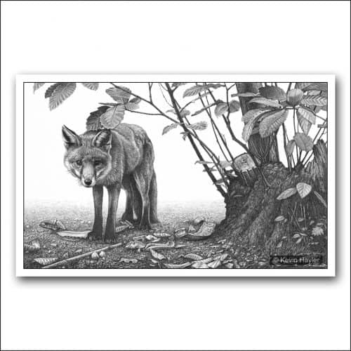 Red fox in coppiced woodland pencil drawing