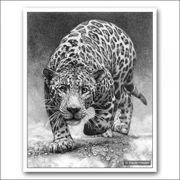 Jaguar with intense eyes prowling pencil drawing