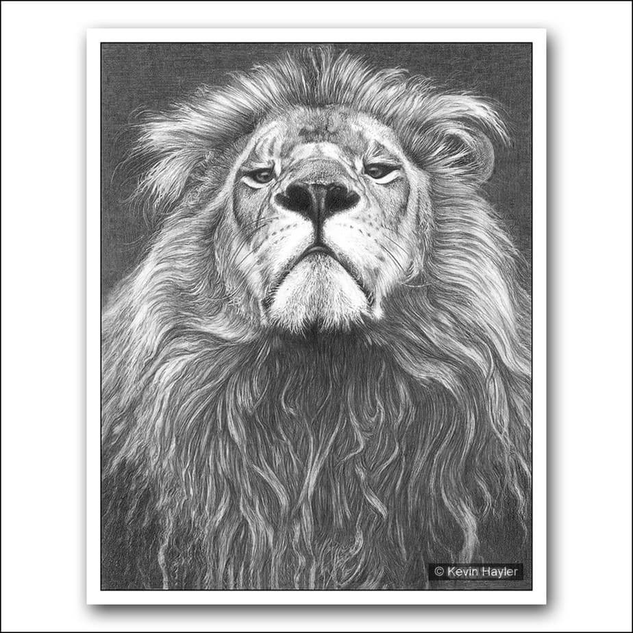 Superior male lion looking down his nose pencil drawing