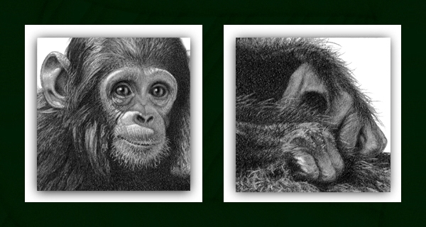 baby chimp Drawing details in close-up