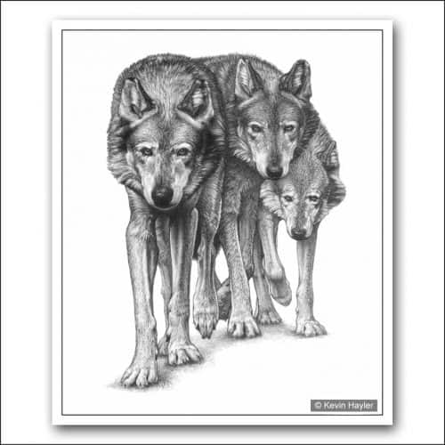 Three wolves closing in pencil drawing
