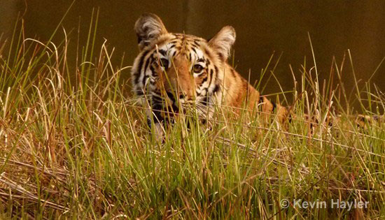 Tiger on a riverbank in Tadoba NP