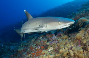 Whitetip reef sharks active at night. Found in Raja Ampat