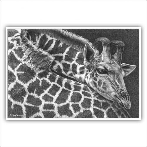 Sample pricing image. A giraffe at rest. A signed limited edition print from a drawing by Kevin Hayler