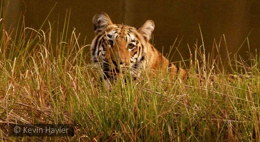 A wild Tigress lying up on a riverbank in Tadoba Andhari National Park. A great park for finding tigers on a budget.