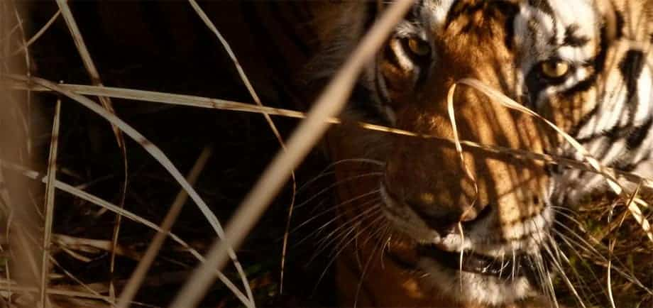 A wild tiger on a budget in Bandhavgarh National Park. Photographed from elephant-back on safari.