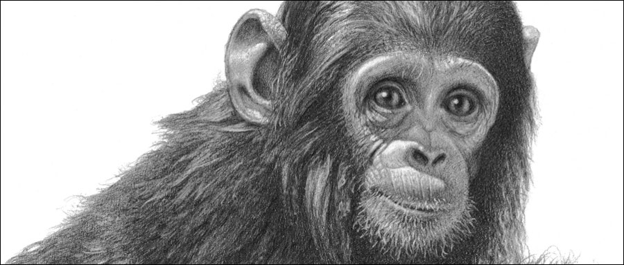 The top 12 wildlife subjects. Chimp pencil drawing by Kevin Hayler