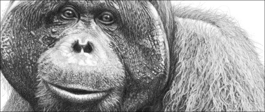 Best selling subjects. Male orangutan pencil drawing by Kevin Hayler