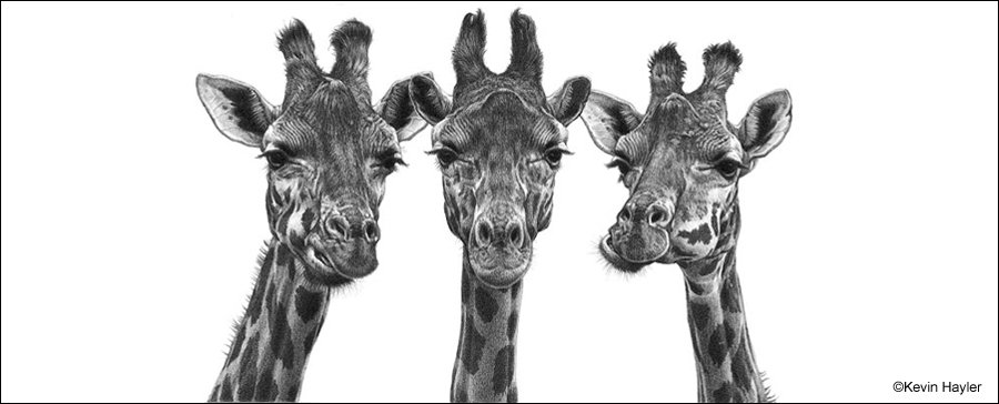 3 Giraffes drawing called Eyelashes by Kevin Hayler