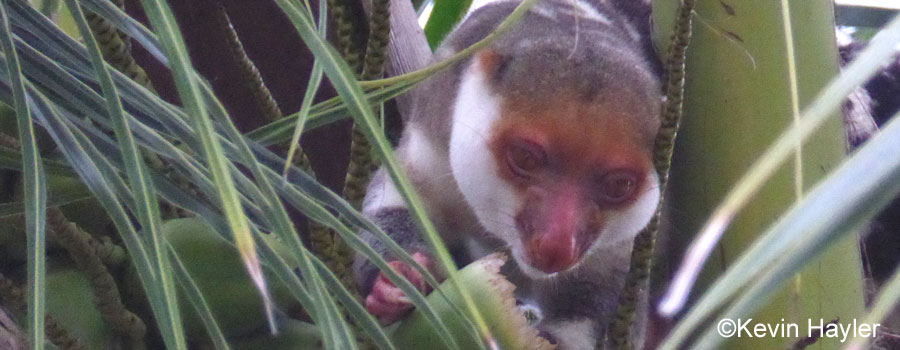 A spotted cuscus foraging for palm fruit on Gam Island.