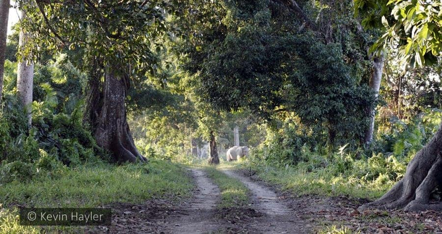 Wild tigers found in Kaziranga National park with an elephant in the background.