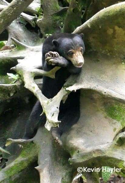 Rescued sun bear resting on a giant tree. In the Sun bear center next to Sepilok