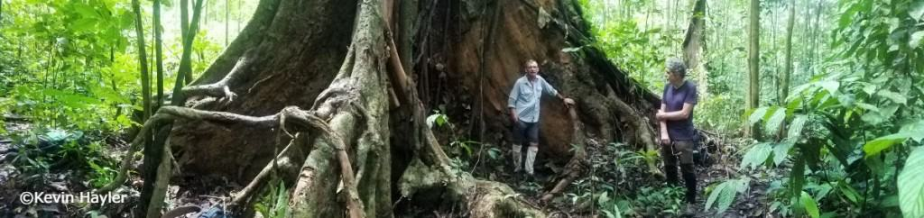 The best place to see wild orangutans, Kevin Hayler and Tommy under an enormous tree in Gunung Leuser National park