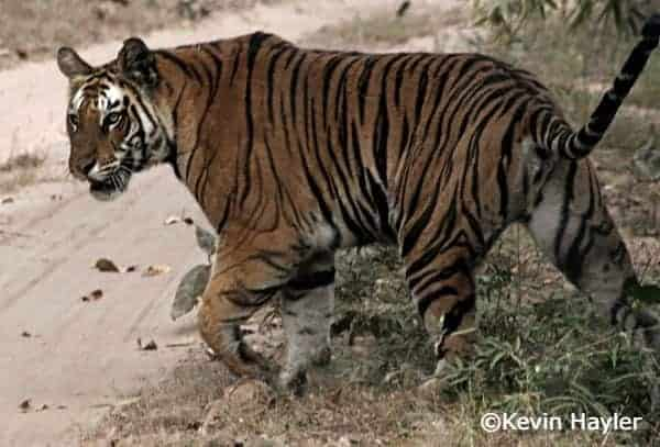 Wildlife watching in Asia. A tiger crossing a track in Kanha national park in India