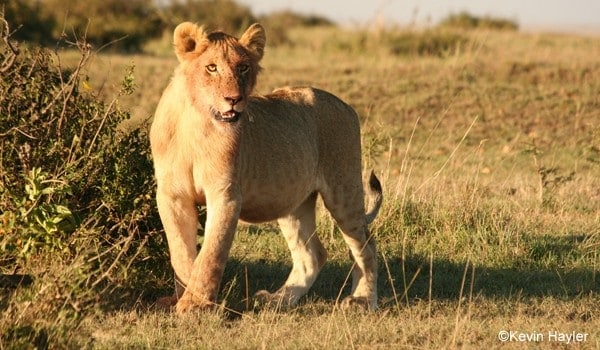 How to plan a wildlife photography trip. A photo of a lion cub in Masai Mara Reserve. Kenya