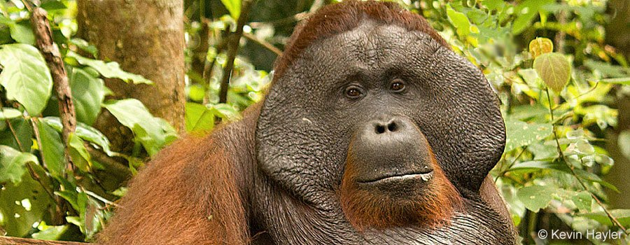 where to see orangutans on a budget Male orangutan