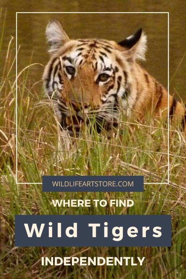How to find and photograph wild tigers on a budget image for pinterest. A wild tiger photo.