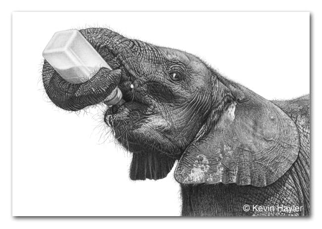 Realistic pencil drawing of an orphaned elephant from Sheldricks elephant orphanage. Drawn by Kevin Hayler