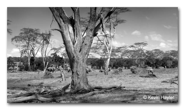 Black and white landscape with elephants in Ol Pejeta Reserve in Kenya. Authors own photo proving how I can afford to travel