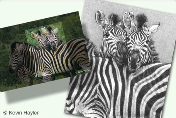zebra photo composition and the zebra pencil drawing