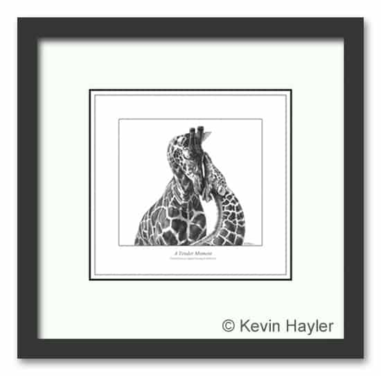 A mother Giraffe comforting her calf. A framed pencil drawing by Kevin Hayler.