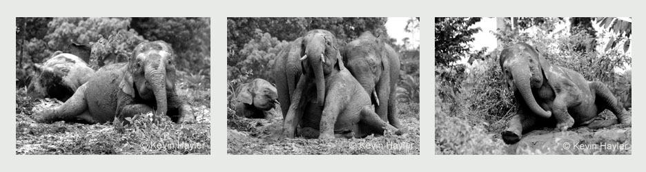 Three pygmy elephants in Borneo. Reference photos for planning a pencil drawing
