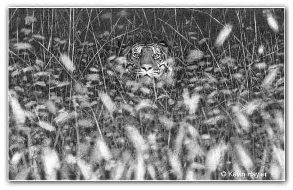 Pencil drawing of a tiger lying in the grass. Depth-of-field out-of-focus effect.