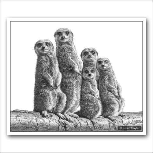 A family of meerkats A pencil drawing by Kevin Hayler