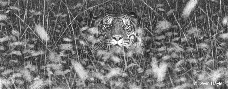 A pencil drawing of a tiger hiding in grass