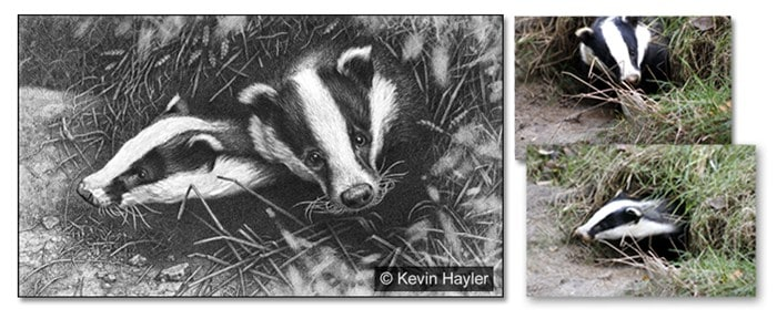 Badger pencil drawing with two reference photos attached.